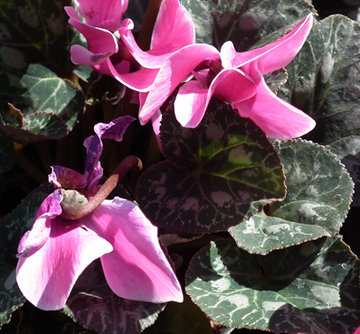 cyclamen dog poison flower
