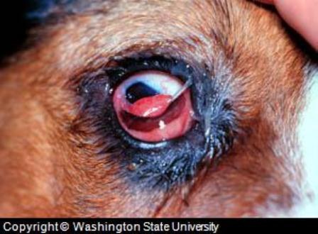 Dog Has Punctured Eye