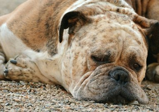 sick bull dog