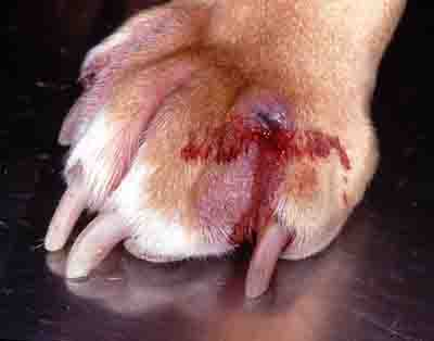 Swollen Dog Paw Care: Pictures, Video and Tips