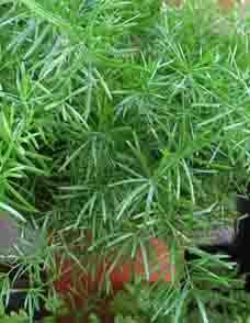 Asaparagus fern