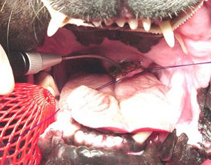 Brachycephalic soft palate surgery