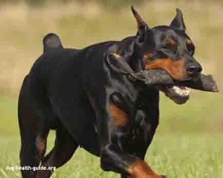 canine congenital heart disease doberman