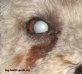 cataracts in dogs - 288px x 258px - example 4