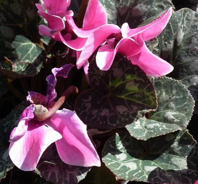 cyclamen dog poison flower