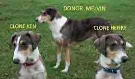 dog cloning process