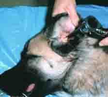 dog ear exam - 223px x  109px - example 6