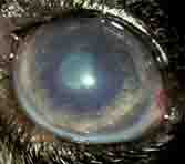 dog eye cataract - 167px x 148px - example 7