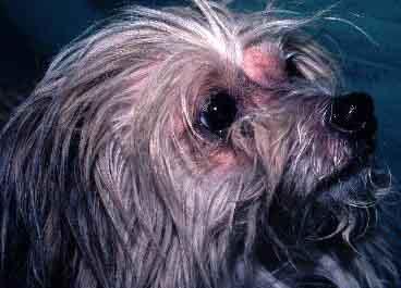 dog face atopy