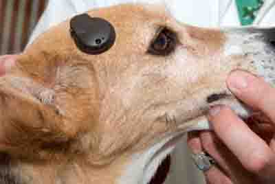 dog hearing aid - VSB implant - 400px x 268px