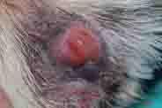 Dog Interdigital cystic folliculitis
