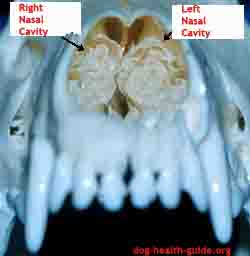 dog nasal anatomy