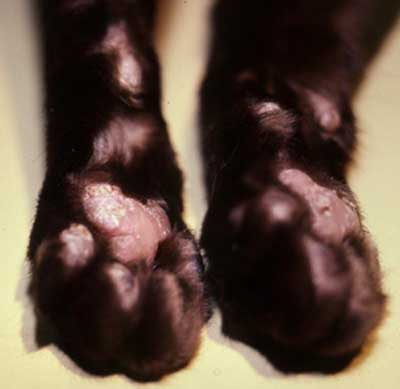 dog pemphigus on feet