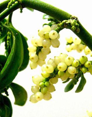 dog poison mistletoe - example 2 - 315px x 403px
