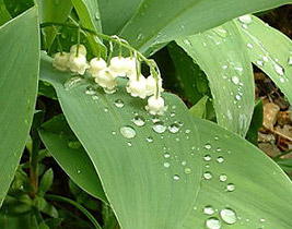 dog poisonous plant - example lily - 267px x 210px