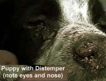 dog puppy distemper - example of eyes and nose - 343px x 262px