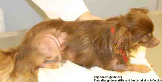 dog flea allergy pictures  symptoms and treatment