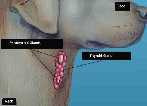 dog thyroid anatomy