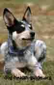 dog with addisons