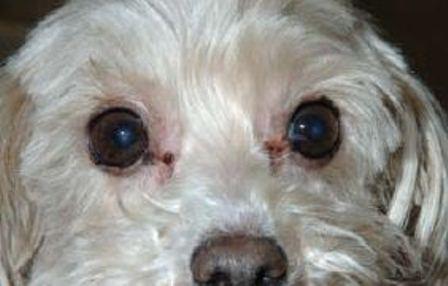 dog tear