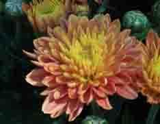 dog toxic chrysanthemum