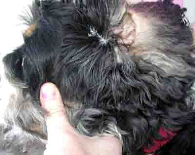 ear infection in dog - example 1 - 400px x 318px