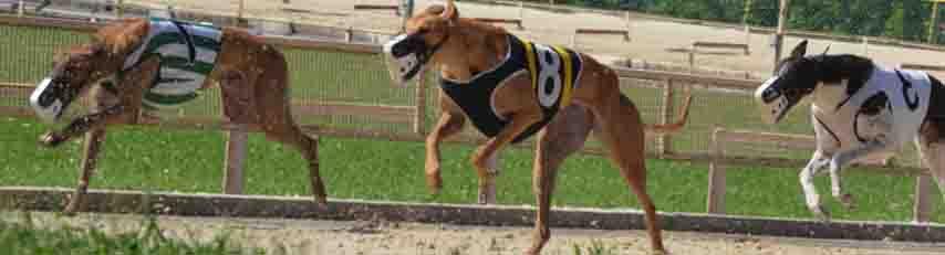 greyhounds as original source of dog flu