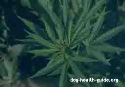 marijuana dog poison