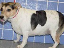 overweight dog - symptoms - fat abdomen