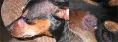 Pictures of Ringworm in Dogs Nose - 2 examples - 400px x 144px