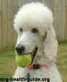 poodle with dog addisons