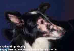 puppy dermatomyositis