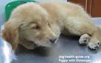 puppy vomiting distemper