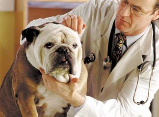 bulldog health
