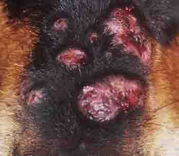 canine skin infection nose