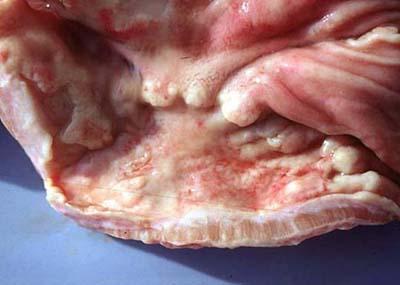 dog gastric adenocarcinoma tumor - example 2 - 400px x 285px