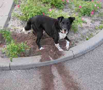 dog digging holes in flower bed - example 1 - 400px x 348px
