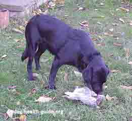 dog eating rabbit