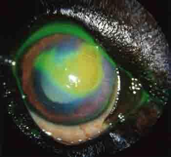 Dog Eye Ulcer Treatment - example 6 - 350px x 322px