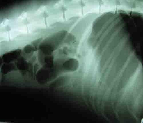 dog foreign body in intestine - xray - 500px x 430px