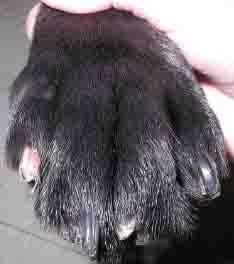 dog nail onychodystrophy - 234px x 264px - example 4