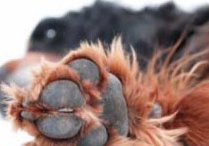 dog paw pads - example 4 - 296px x 207px