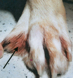 dog paw swelling related to Malassezia pachdermatis - example 2 - 297px x 314px