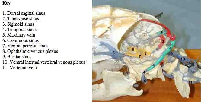 dog sinus anaotomy