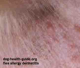 dog skin parasites fleas skin reaction