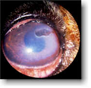 Dog Corneal Ulcer - Example 1 - 188px x 182px