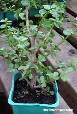 jade plant is poisonous to dogs