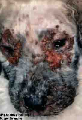 puppy skin strangles