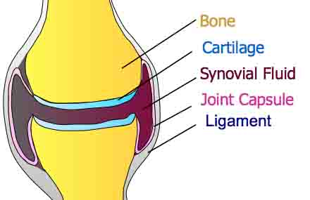 synovial joint diagram - 440px x 285px