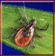 pciture of tick that carries lyme disease